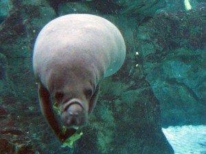 One of the manatees eating and looking straight at me!